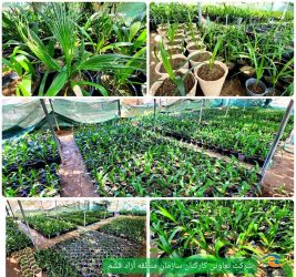 تولید ۴ هزار نفر نخل پنجه ای در باغ موزه گیاهشناسی قشم
